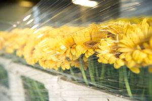 Viele gelbe Blumen, die hinter durchsichtiger Folie frisch gehalten werden,